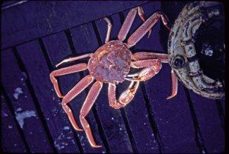 Tanner crab (Credit: U.S. Fish and Wildlife
