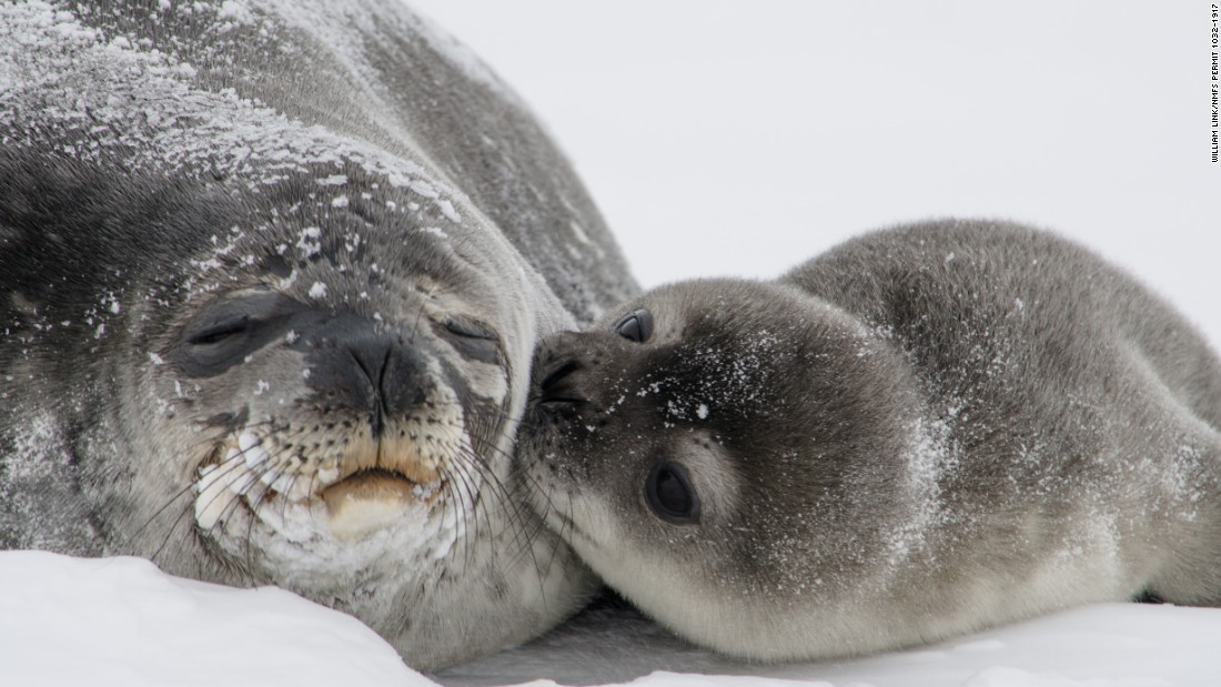 Oh, the cuteness. A seal pup kisses its mom in Antarctica. (William Link, NMFS Permit 1032-1917)