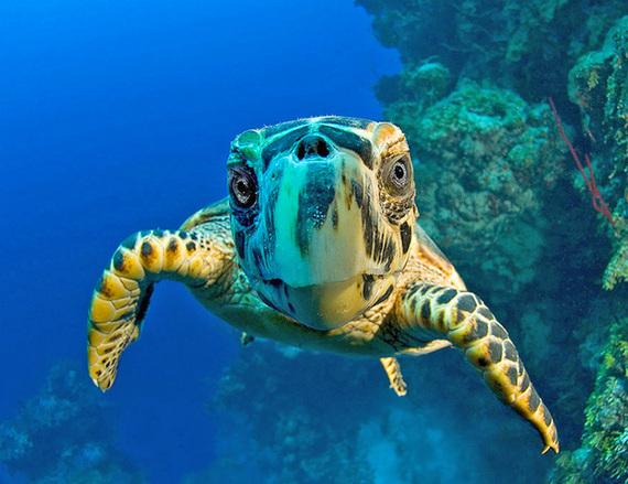 2015-09-30-1443638203-3963704-Nosy_turtle2.jpg