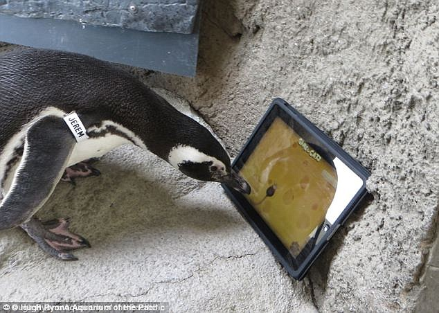 Jeremy, a Magellanic Penguin at the Aquarium of the Pacific in Long Beach playing the iPad app Game For Cats. Instead of using paws, he pecks at the screen to try and catch a stray mouse.
