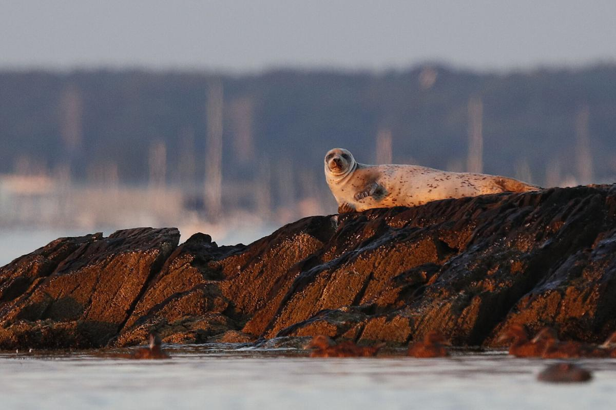 More seals means learning to live with sharks in New England ...