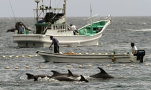 Fishermen drive dolphins into nets during the annual Taiji hunt.