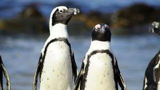 African penguins, fishing bans