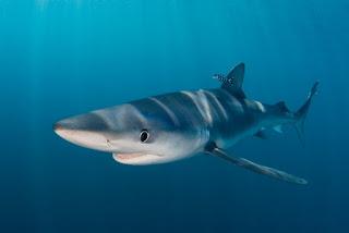 shark, blue shark, shark finning, shark fin soup