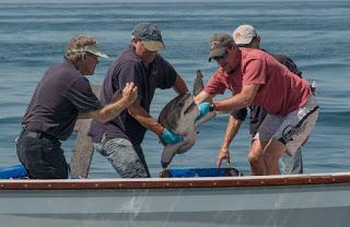 juvenile great white shark tagging, white shark tagging
