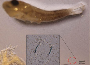 plastic-eating fish larva