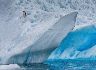 adelie penguin in antarctica, penguin, adelie penguin, antarctica
