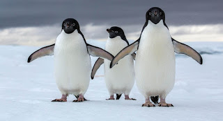 Adelie penguins, Antarctica mega-colony