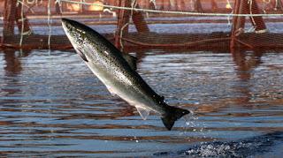 atlantic salmon farming, atlantic salmon farm pen