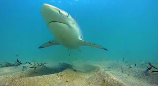 shark, migration, shark migration, North Carolina, Florida, blacktip shark