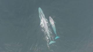 blue whales, New Zealand, Oregon State University
