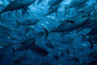 bluefin tuna, tuna