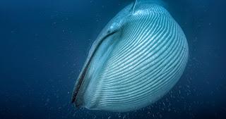 blue whale, blue whale engorged