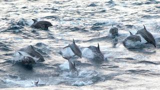 British Columbia, West Coast Vancouver Island, Bottlenose Dolphins