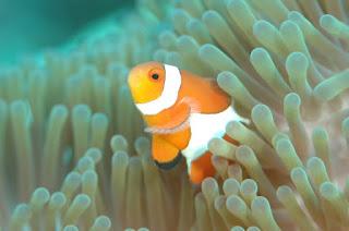 clownfish, anemone, anemone bleaching