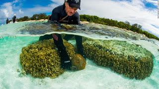 coral spawning, coral reef transplant, coral reef spawning