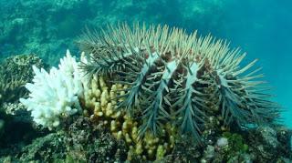 Australia, crown-of-thorns-starfish