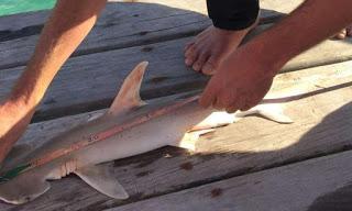 new bonnethead shark
