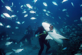 reef shark feeding by divers