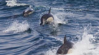 dolphins, dolphin pod