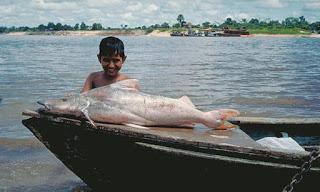 dorado catfish