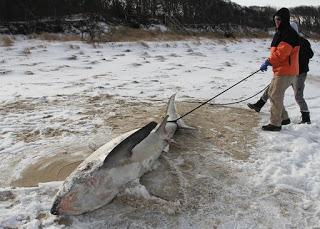 frozen shark, frozen thresher shark