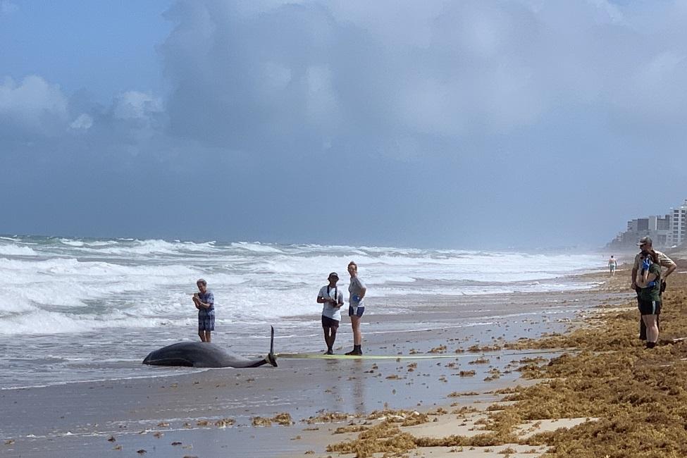 Stranded Whale, Florida, Atlantic Ocean, Pollution, Marine Environment, Pathology, Marine Mammals, Toxins, Fossil Fuels