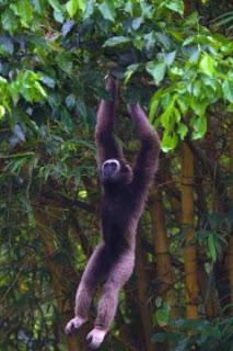 Bornean Gibbon, gibbon, endangered species