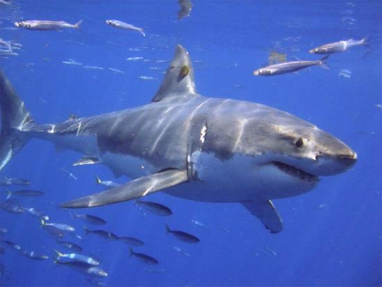 Great White Shark image