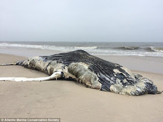 beached humpback whale, humpback whale, Queens New York