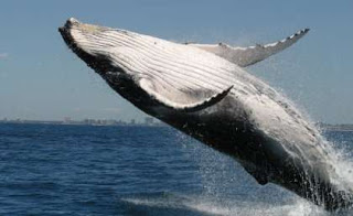 humpback whale, humpback whale breaching