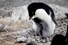 Image result for adelie penguins