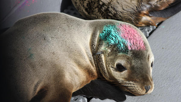 Painted sea lion