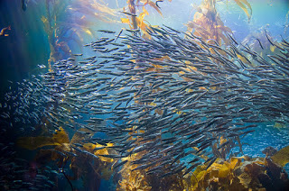 kelp forest, school of fish