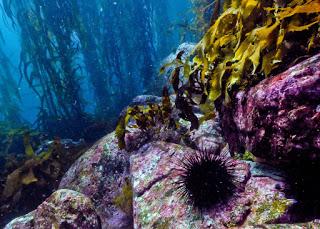 kelp forest, urchin barren