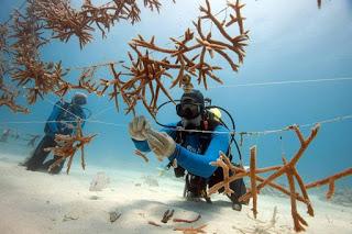 coral reef restoration, coral reef nursery