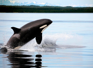 killer whale jumping or breaching