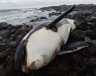 Lulu the killer whale