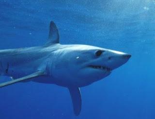 shortfin mako shark, mako shark, shark