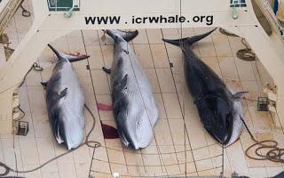 Japanese whaling, minke whales, dead minke whales