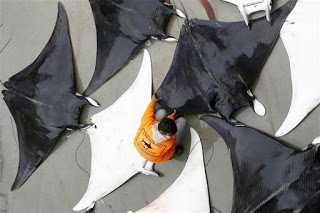 giant devil rays fished