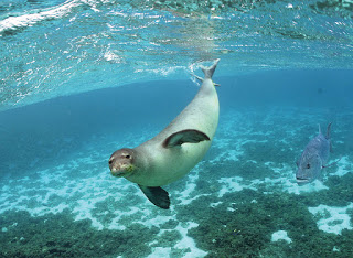 monk seal underwater