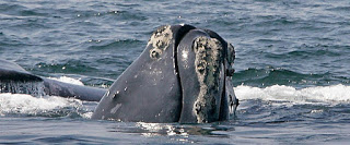 North Atlantic right whale, extinction
