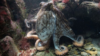 Octopus Vulgaris or Common Octopus