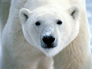 polar bear, endangered species act