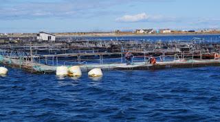 salmon aquaculture, salmon pen farming, pacific northwest, atlantic salmon