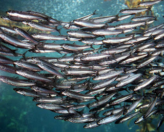 pacific sardines, sardines, Monterey