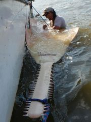 Sawfish with tracker