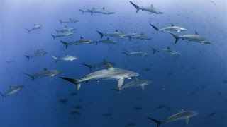 school of sharks, Revillagigedo Archipelago National Park