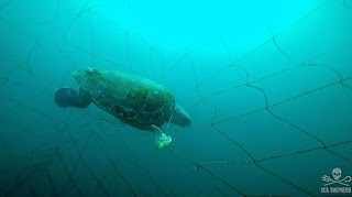 sea turtle caught in net, Australia, Sea Shepard